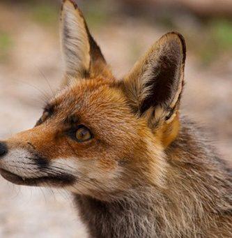 animales-que-transmiten-la-rabia