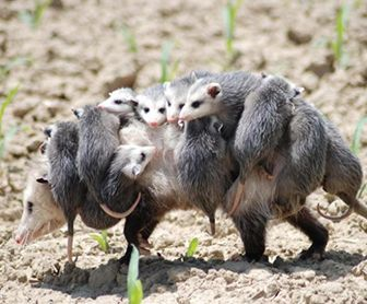 Como cuidan los tlacuaches a sus crias