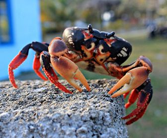 Diferencia entre jaiba y cangrejo
