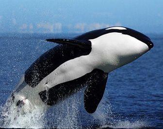 Porque las orcas suben a la superficie a respirar