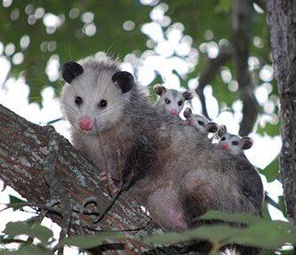 Que es el marsupio de los tlacuaches y para que sirve