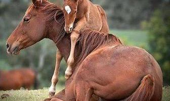 como se reproducen los caballos