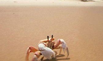 que comen los cangrejos de playa