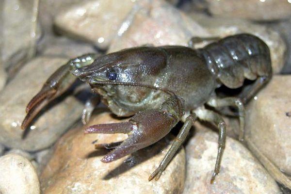 que comen los cangrejos de rio