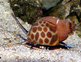 que comen los caracoles marinos