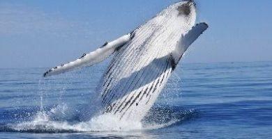 como respiran las ballenas