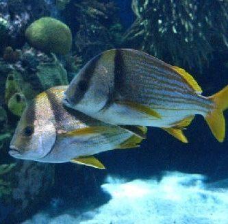 como respiran los peces