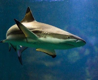 como respiran los tiburones