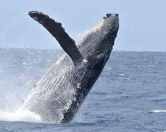 como se reproducen las ballenas