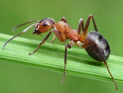 como se reproducen las hormigas