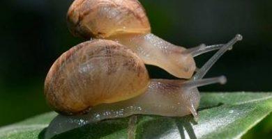 reproduccion de los caracoles