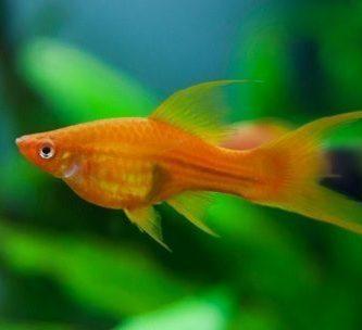 como se reproducen los peces