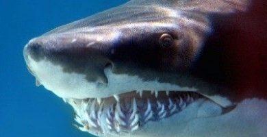 como se reproducen los tiburones
