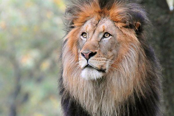 especies de leones