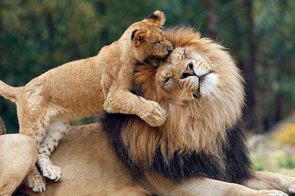 habitat de los leones