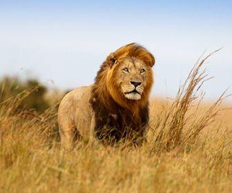 informacion sobre el leon