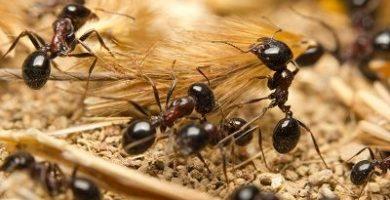 que comen las hormigas