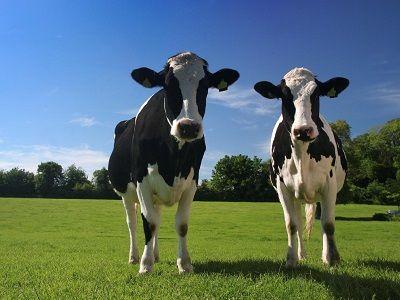 que comen las vacas