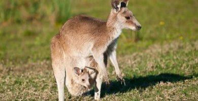 que comen los canguros