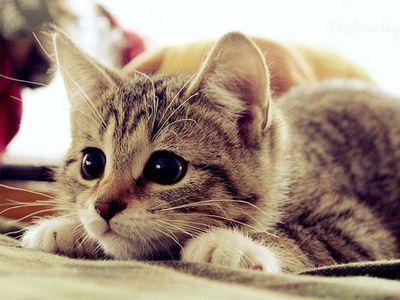 que comen los gatos