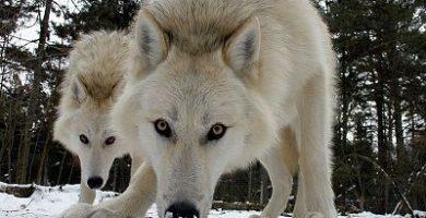que comen los lobos