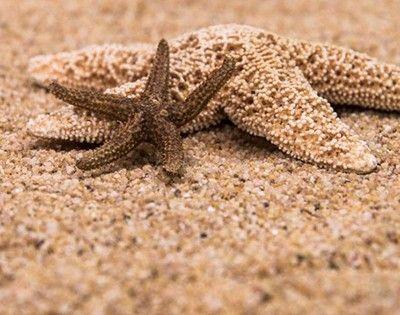 como respiran las estrellas de mar