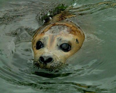 como respiran las focas