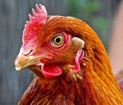 como respiran las gallinas