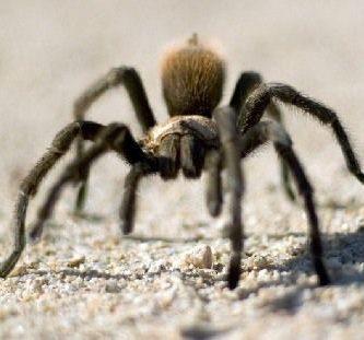 como respiran las tarantulas