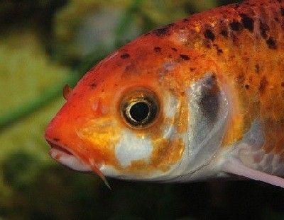 como respiran los peces bajo el agua