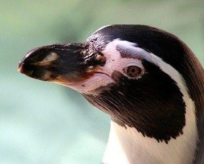 como respiran los pinguinos