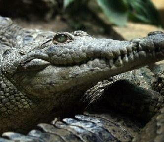 como se reproducen los cocodrilos