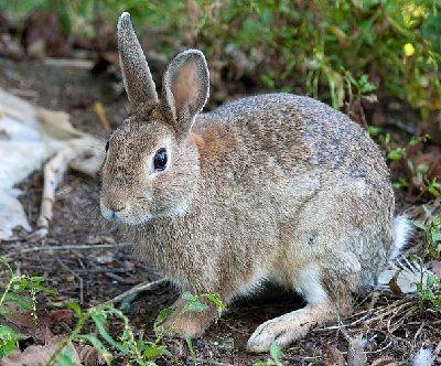 como se reproducen los conejitos