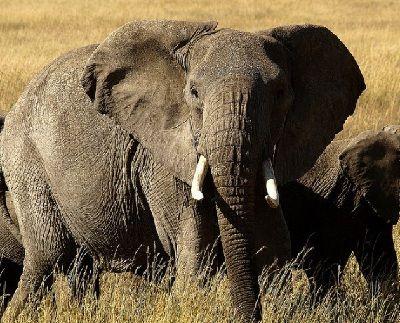 C mo se reproducen los elefantes - Como se aparean los elefantes ...