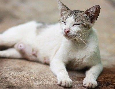 como se reproducen los gatos