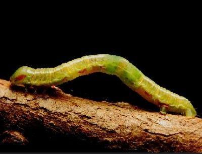 como se reproducen los gusanos
