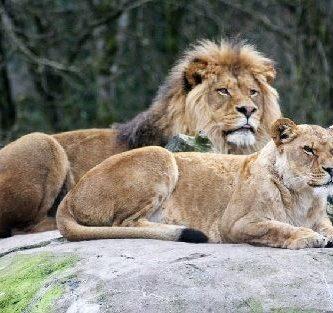 como se reproducen los leones
