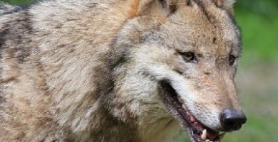 como se reproducen los lobos