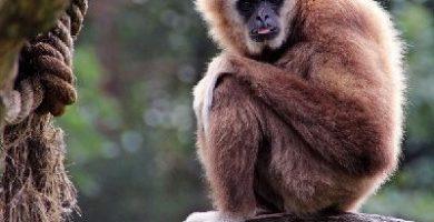 como se reproducen los monos
