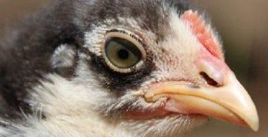 como se reproducen los pollos
