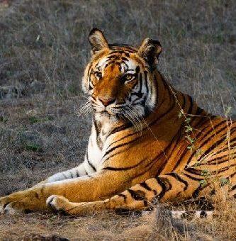 como se reproducen los tigres