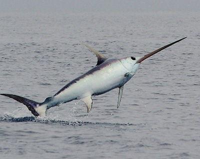 que come el pez espada