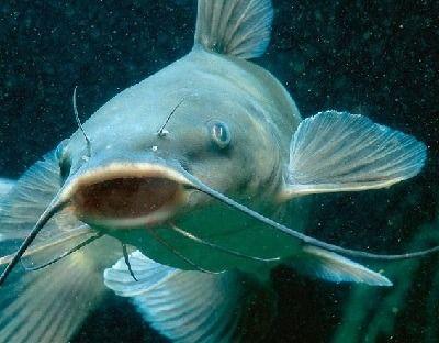 que come el pez gato