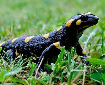 que comen las salamandras