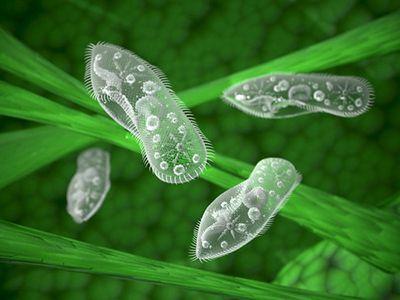 Como respiran los protozooarios