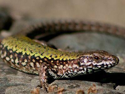 como nacen los reptiles