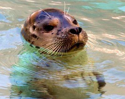 como se reproducen las focas