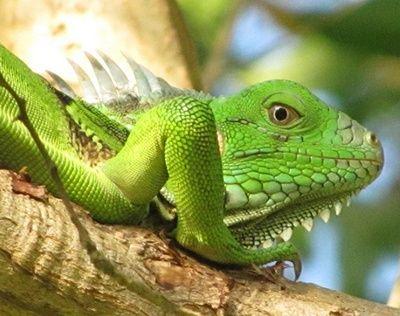 como se reproducen las iguanas