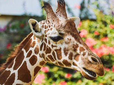 como se reproducen las jirafas