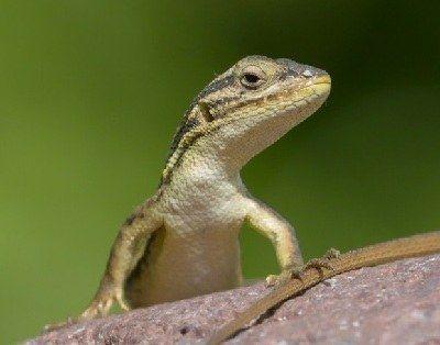como se reproducen las lagartijas